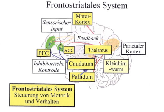 Frontostriatales System